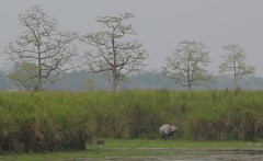 KAZ_097 (soggy_3_16) Tags: birds nikon wildlife 70300 kaziranga d90
