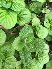#menta #mint #garden #spring #green (dottofederico) Tags: green garden spring mint menta
