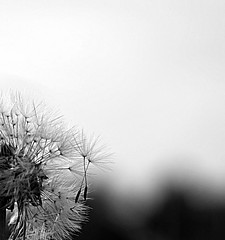 los lassen (Danyel B. Photography) Tags: bw white plant black macro nature close wind sony natur pflanze 25 sw nah makro 90mm vivitar schwarz a7 samen pusteblume blowball weis