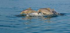 Let us LIVE in the ocean ! (Dunstan Fernando) Tags: ocean sea fish nature nikon wildlife dolphins   ikan delphine dunstan delfines dauphins golfinhos  delfiner dolfijnen  delfiny dolphinsjumping delfiinid lumbalumba    delfiinit delfinii  delfinai  masirahisland dunstanphotography delfinek  dolphinsoman delfni dolphinsinmasirahisland wildlifemasirahisland