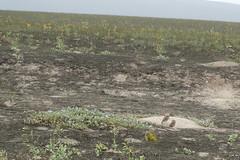 Burrowing owls at Lachay Reserva Nacional, Coastal Peru (*Andrea B) Tags: peru coast january coastal owl nacional reserva burrowingowl 2016 burrowing buo lachay january2016 lachayreservanacional