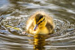 Stockenten Kken (MaikeJanina) Tags: duck natur chick ente nordsee vogel spiekeroog kken babyduck stockente naturfotografie ostfriesischeinseln entenbaby vogelfotografie babyente