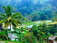 Rice terrasses in Jatiluwih . (Franc Le Blanc .) Tags: bali lumix rice panasonic fields jatiluwih