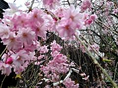 (aozora.umikaze) Tags: japan hana nara saku soko aozora kurikaeshi tsumikasane