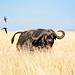Cape Buffalo in Tall Grass