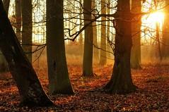 """golden sunset"" (Karel Hrouzek P H O T O) Tags: autumn winter light sunset shadow sun mist plant mountains color tree fall nature misty fog forest landscape gold haze woods czech bokeh illumination brno nikkor sunrays tones landschaft illuminate misterious"