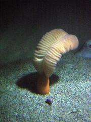 Plumed 3 (Nana Pensec) Tags: california ca copyright usa aquarium monterey montereybayaquarium montereybay californie montereyca montereycaliforniausa nottobeusedwithoutpermission copyrightdsainton dsainton