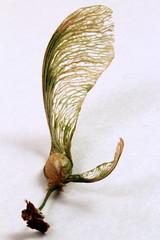 Wingnut, whirlybird, whirligig (goldengirl 2011) Tags: plant macro indoor whitebackground lightbox whirligig wingnut macrophotography whirlybird spinningjenny katharinehanna