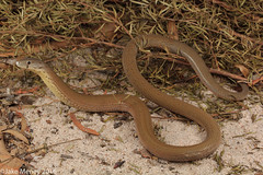 Common Scaly-foot Legless Lizard (Pygopus lepidopodus) (jakemeney) Tags: foot lizard common scaly legless pygopus pygopodidae lepidopodus jakemeney