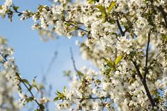 Spring fever / Frhlingsgefhle (Marc Wildenhof) Tags: flower tree germany deutschland hessen schrfentiefe oberursel stierstadt canoneos7dmarkii