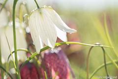 Kievitsbloem-9483 (Josette Veltman) Tags: macro photowalk lente zwolle overijssel landschap zeldzaam kievitsbloem kievitsbloemen photowalkzwolle checkersflower