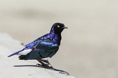 Blue bird 2 (Toffe17) Tags: blue bird nature canon tanzania outdoor safari afrika mk2 5d fugl bl 2016