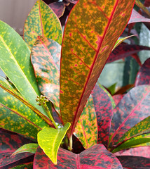 Rainbow Leaves (hpaich) Tags: park plant flower nature beauty leaves leaf newjersey nj greenhouse jersey middletown deepcut deepcutpark