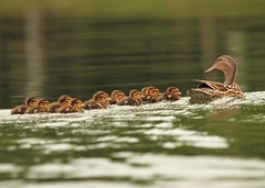 Watchful New Mama (hennessy.barb) Tags: fuzzy ducks mallard brood babyducks mamaduck mallardducklings