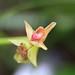 4Q4B5486_Polystachya sp (Fleur)