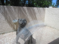 Liquid In Motion (priscillag05) Tags: dog pet motion water animal outdoors jump jumping rainbow action pitbull waterinmotion liquidinmotion