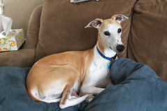 Beautiful Boy (DiamondBonz) Tags: dog pet nest hound handsome whippet couch spanky