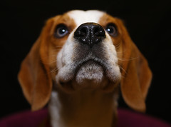 Beagle (www.eastsussexphotography.com) Tags: dog beagle canon puppy 5d mk3