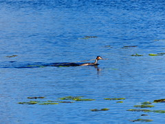 P1020761 Westhay Moor Great Crested Grebe (Photos-Tony Wright) Tags: uk wild bird nature wildlife great somerset naturereserve april fowl moor crested levels grebe wildfowl 2016 westhay