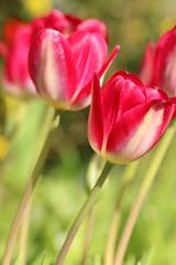 Karmesinrote Tulpen 2 (gripspix (catching up slowly)) Tags: plant nature crimson natur pflanze tulip tulpe karminrot 20160423