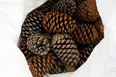 Pinhas - Galveias (mariamartins155) Tags: textura natureza pinha pinhas