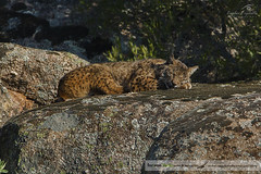 Cuco Sesteando - Territorio Lince (cexpositoe) Tags: naturaleza turismo lince andujar iberico