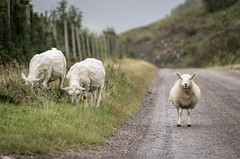 on the road (Mopple Labalaine) Tags: road scotland sheep loch sheeps schottland schaf littlelochbroom lochbroom badcaul lochbhraoin adressie
