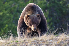 Getting closer.... (JA Photography - Be There, Out There) Tags: alberta banffnationalpark grizzlybear canadianwildlife