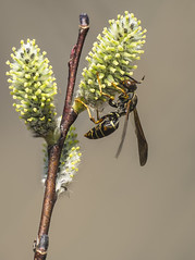 _DSC7028-Edit (doug.metcalfe1) Tags: plant nature insect spring outdoor osprey pussywillow 2016 mckenziemarsh nokiidaatrail