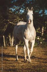 _DSC8727 (Izaias Lus) Tags: brasil caballos photography photographie cavalos equestrian equine nordeste chevaux equino haras equestre garanhunspe