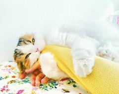 Kitty of property (Varvara_R) Tags: cat fun play fluffy scottishfold