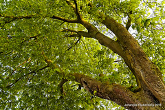 Baumkrone (grafenhans) Tags: sony alpha 700 tamron baum rinde perspektive frühling abendsonne stamm kastanie a700 alpha700 grafenwald 281750 böckenbusch