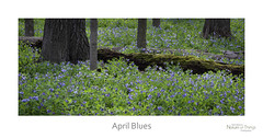 April Blues (baldwinm16) Tags: nature bluebells woodland illinois spring woods midwest il april wildflower mortonarboretum natureofthingsphotography