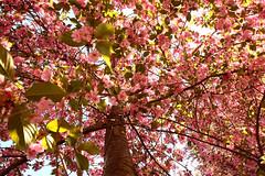 Cherry Splash (Creepella Gruesome) Tags: flowers light tree nature colors leaves spring branches blossoms bark sakura cherryblossoms cherrytree