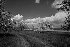 Apfel und Birnen (nafoto!) Tags: bw apple monochrome clouds pears cloudy wolken apfel wolkig birnen leicaq