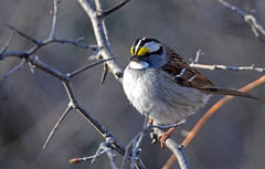 White-throated Sparrow - Bruant  gorge blanche - Zonotrichia albicollis (DSC_3808-1F-20160426) (Michel Sansfacon) Tags: whitethroatedsparrow zonotrichiaalbicollis bruantgorgeblanche nikond7000 sigma150600mmf563dgoshsmsports