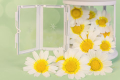 322 (Rafi Moreno) Tags: flowers flores primavera nature daisies canon vintage spring soft bokeh interior hipster retro desenfoque silvestre margaritas rafi rotera 365proyect proyecto365fotos