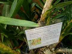 Grammatophyllum speciosum Blume Orchidaceae-giant orchid,  (SierraSunrise) Tags: flowers plants thailand orchids orchidaceae chiangmai maerim qsbg