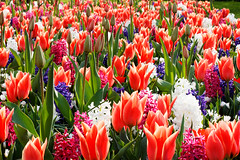 Colors ! (Bruno MATHIOT) Tags: plant flower nature fleur colors canon eos europe tulips outdoor couleurs bas extrieur parc pays catchy tulipes hollande 55250