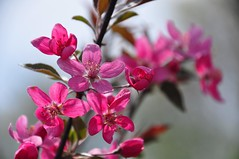 April flowers (christiaan_25) Tags: pink flowers plant blur color tree nature leaves petals bokeh blossoms depthoffield flowering blooms crabapple blooming inbloom