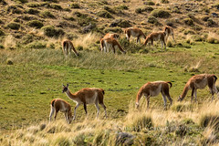 Grazing Guanaco II (chasingthelight10) Tags: chile travel patagonia mountains nature photography landscapes countryside wildlife events lakes meadows places things torresdelpainenationalpark