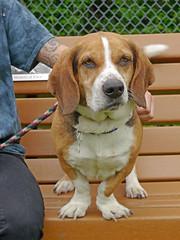 Buster_03 (AbbyB.) Tags: rescue dog pet beagle newjersey canine shelter adopt bassethound shelterpet petphotography easthanovernj mtpleasantanimalshelter
