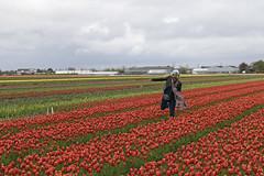 Tulpen in Lisse (Knoffelhuisie Photography.) Tags: red holland rose tulips nederland wolken tulip tuin rood bollen tulpen tulpe roze rode tulp lisse tulipfields rooi bloembollen