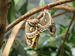 Mating Moths (katsu333) Tags: explore hyalophoracecropia montrealbotanicalgardens butterfliesgofree