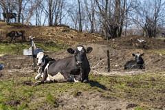 the opposite of wildlife (Flapweb) Tags: cow vermont stalbans