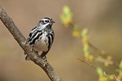 Black-and-white Warbler (Lightskipper) Tags: