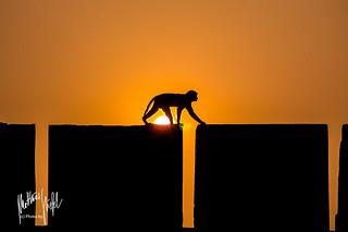 Sunny ape