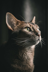 Luke (MorboKat) Tags: portrait pet cats cat usual abyssinian petportrait purebred ruddy purebredcat ruddyabyssinian purebreed abyssiniancat usualabyssinian maleabyssinian