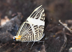Colobura dirce, Small Beauty in Ecuador (Dave W.) Tags: mosaicbutterfly dircebeauty coloburaddirce neotropicalbutterflies butterfliesofecuador butterflyphotosbydavewendelken butterfliesoftheandesandamazonia smallbeautyinecuador zebramosaidbutterfly butterflieswithsunstreaktours