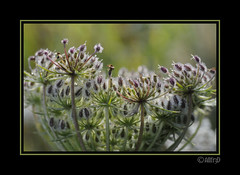 In the mood to weep (allfr3d) Tags: flowers ireland plant flower detail macro nature closeup nikon dof blossom details autofocus naturel platinumheartaward d300s allfr3d